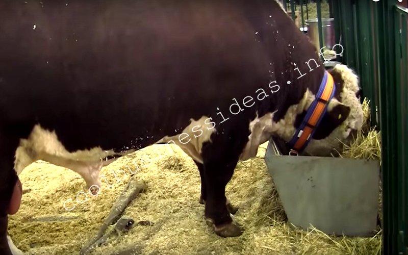 Выращивание бычков рентабельность 4