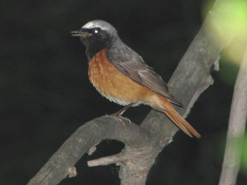 урала название птицы певчие и фото