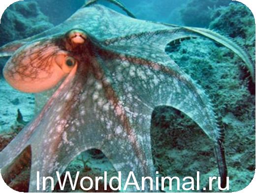 Bericht über den Meerestier Tintenfisch. Meereskrake (lateinischer ...