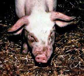 Низкая температура у свиней причины. Разведение свиней поиск по блогу свиноводство что делать если у свиньи температура